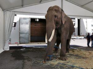 Big Boy llega al Zoológico de Culiacán, su nuevo hogar